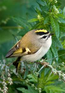 golden_crown_kinglet