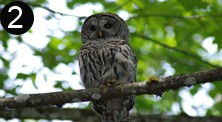 barred owl copy